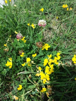 Day 1- Pretty wild flowers along the lakefront