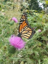 Day 2: Found a monarch!