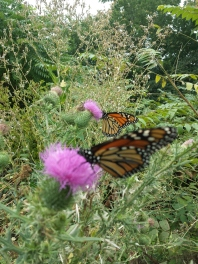 Day 2: Same monarch brought a friend.